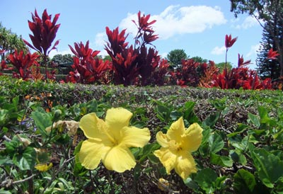 Hawaii2-6Pine.jpg