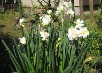 tulipblanc.JPG