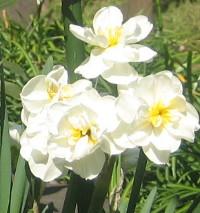 tulipblanc3.JPG