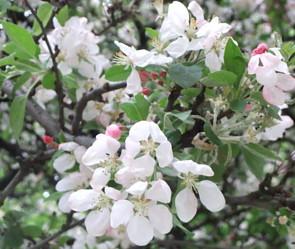 fleur de pommes.JPG